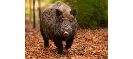 Vysoký početní stav prasete divokého na území Horních a Dolních Počernic a Běchovic
